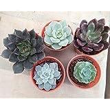 CAPPL Small Exotic Succulents Plants, Echieveria (Mixscc0012)-Set Of 5 Live-Succulents