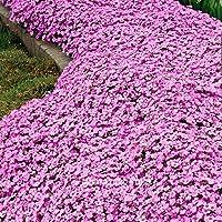 Thym rampant - Delaman Phlox plantes graines, Aubrieta Cultorum, Rock Cress pour Patio Garden Decor 100pcs