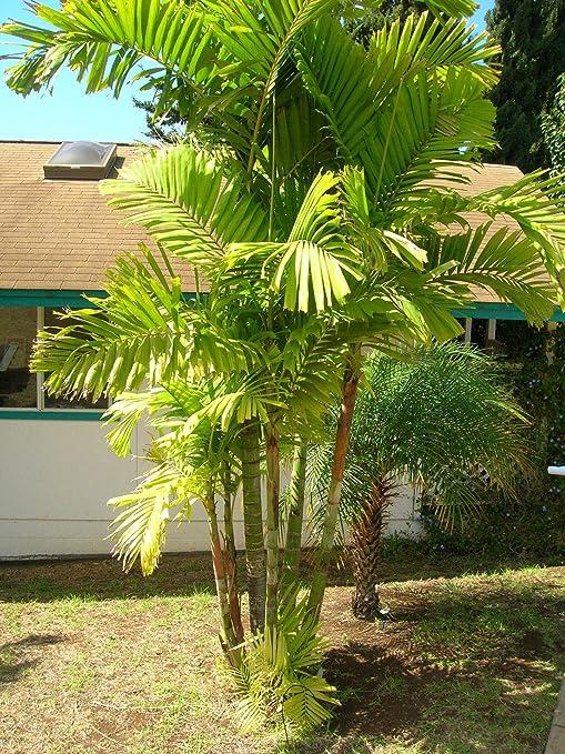 ScoutSeed 25 x semillas de palmera Ptychosperma Macarthurii, palm boom zaden: Amazon.es: Jardín