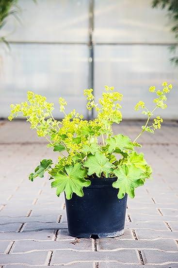 Grossblattriger Garten Frauenmantel Im 3 Liter Topf Bodendecker Grun