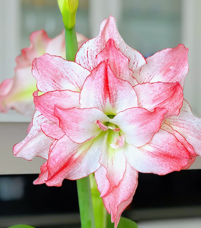 Amazon Double Pink And White Amaryllis Aphrodite 2628cm Bulb