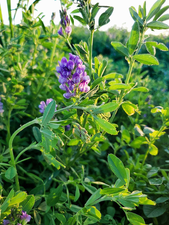Alfalfa Seeds 5 lb- Premium Certified Weed Free Alfalfa Seed -High Germination, Conventional Alfalfa Seed -Garden Seed, Cover Crop, Field Growing, Alfalfa Hay, Alfalfa Honey, Food Plot