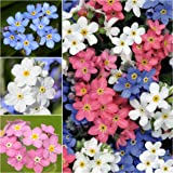 Package of 1,000 Seeds, Forget-Me-Not Mixed Colors (Myosotis alpestris) Non-GMO Seeds by Seed Needs