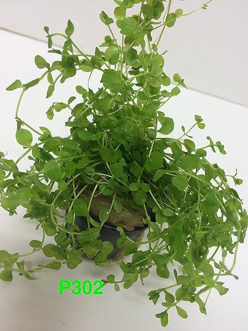 micranthemum Monte Carlo nuevo tamaño grande Pearl hierba planta maceta Planta acuática para Acuario Tanque de