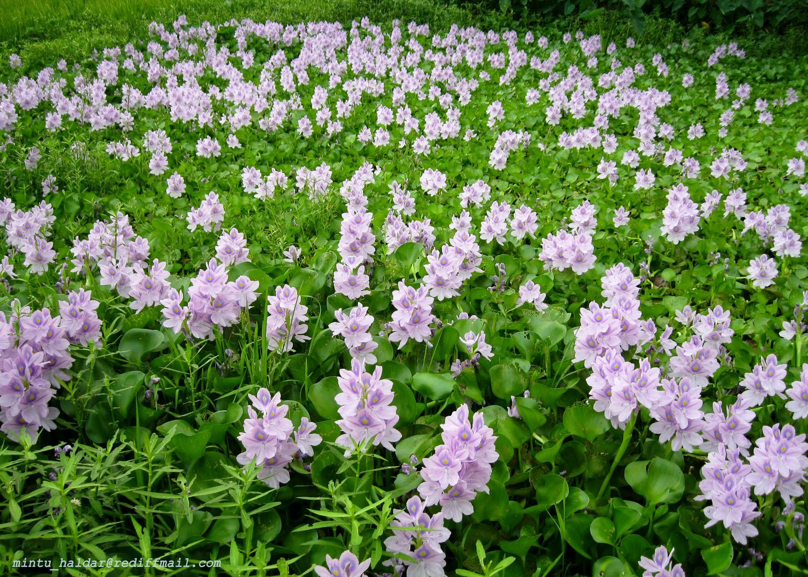 Water Hyacinths - 12 Live Floating Plants by Chalily