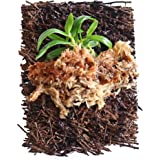 """BLOOMIFY Mounted Miniature Orchid - Haraella retrocalla - Wrapped with Long Fiber Sphagnum Moss - 3"""" mount"""