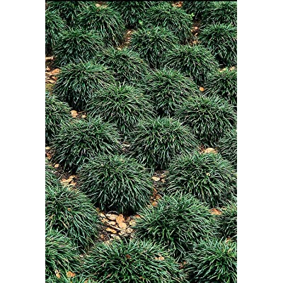 Dwarf Mondo Grass Qty 40 Live Plants Shade Loving Groundcover : Garden & Outdoor
