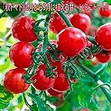 「秋トマト」【甘いミニトマト 9cmポット自根苗 2個セット】 今が植え時です。真夏の暑さや梅雨の湿気、秋の日照時間の短い季節や、弱光線でも開花結実しやすい強健な品種です! 糖度ものりやすく、食味が良い美味しいミニトマトです。・野菜用深めのプランターでも簡単に栽培できます。自社農場から新鮮出荷!!実生苗は夏場、徒長しやすいため、ロットにより挿し木苗になります。【6月から9月が植え時!!即出荷!プライム送料込み価格!】