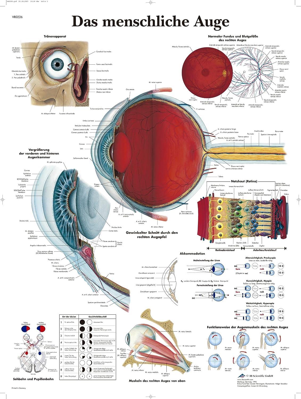 3B Scientific Lehrtafel laminiert - Das menschliche Auge: Amazon.de ...
