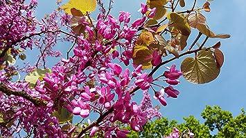 Small flowering tree judas tree cercis siliquastrum pink flowers small flowering tree judas tree cercis siliquastrum pink flowers on trunk and bare branches mightylinksfo