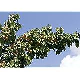 Aprikosenbaum Obstbaum Prunus armeniaca 'Ungarische Beste' ca. 150cm im Topf gewachsen