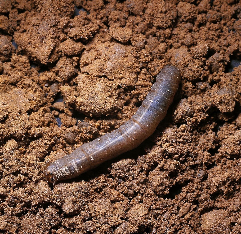 Natural pest control Leatherjacket Killer 20 square metre pack Dragonfli