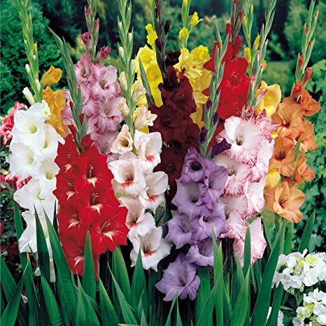 Large Gladioli /'Pastel Mixed/' WPC Prins Bulbs Value Pack x25