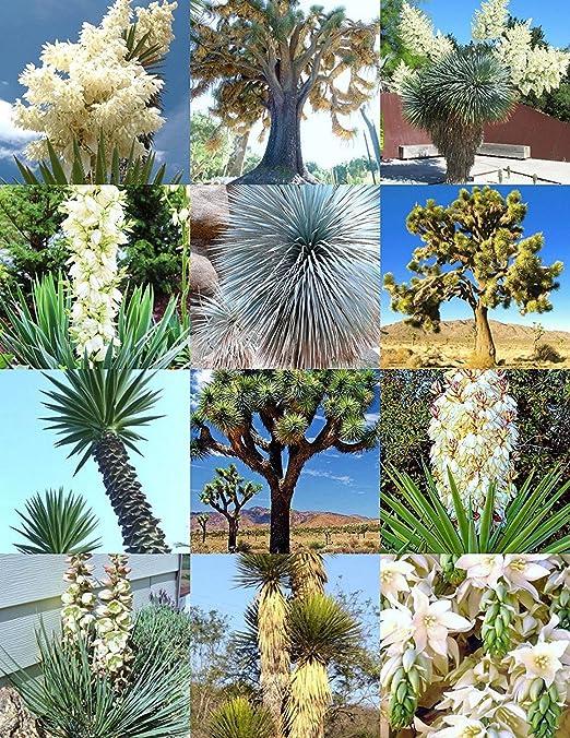 YUCA mezcla, rara palmera aloe flor exótica de agave semillas mezcladas suculenta 15 semillas: Amazon.es: Jardín