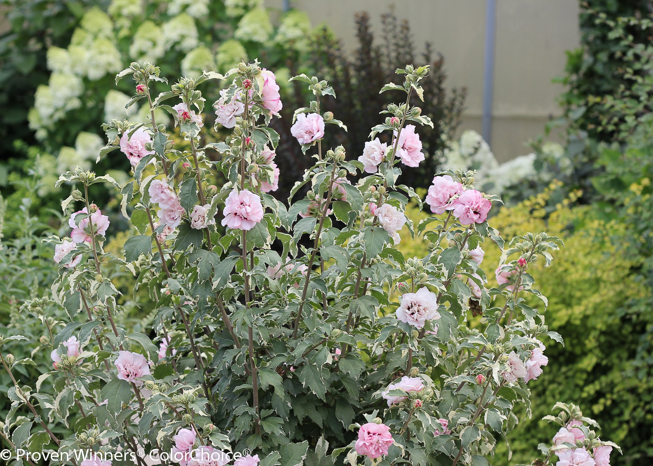 Sugar Tip Rose of Sharon (Hibiscus) Live Shrub, Light Pink Flowers and Variegated Foliage, 1 Gallon by Proven Winners (Image #8)