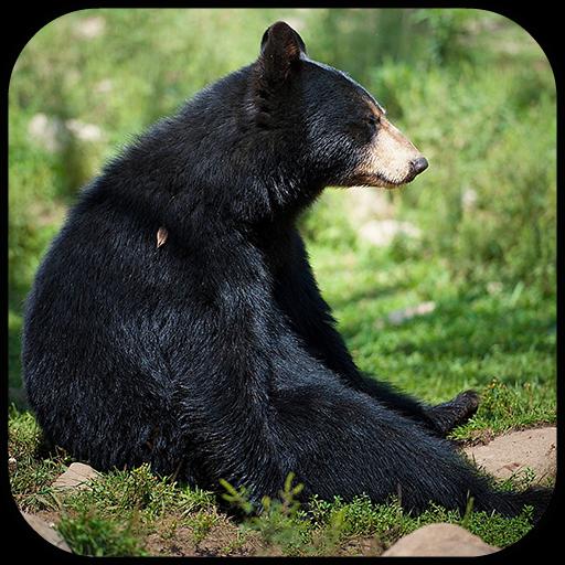 Black Bear Wallpaper (Black Bear Wallpapers)