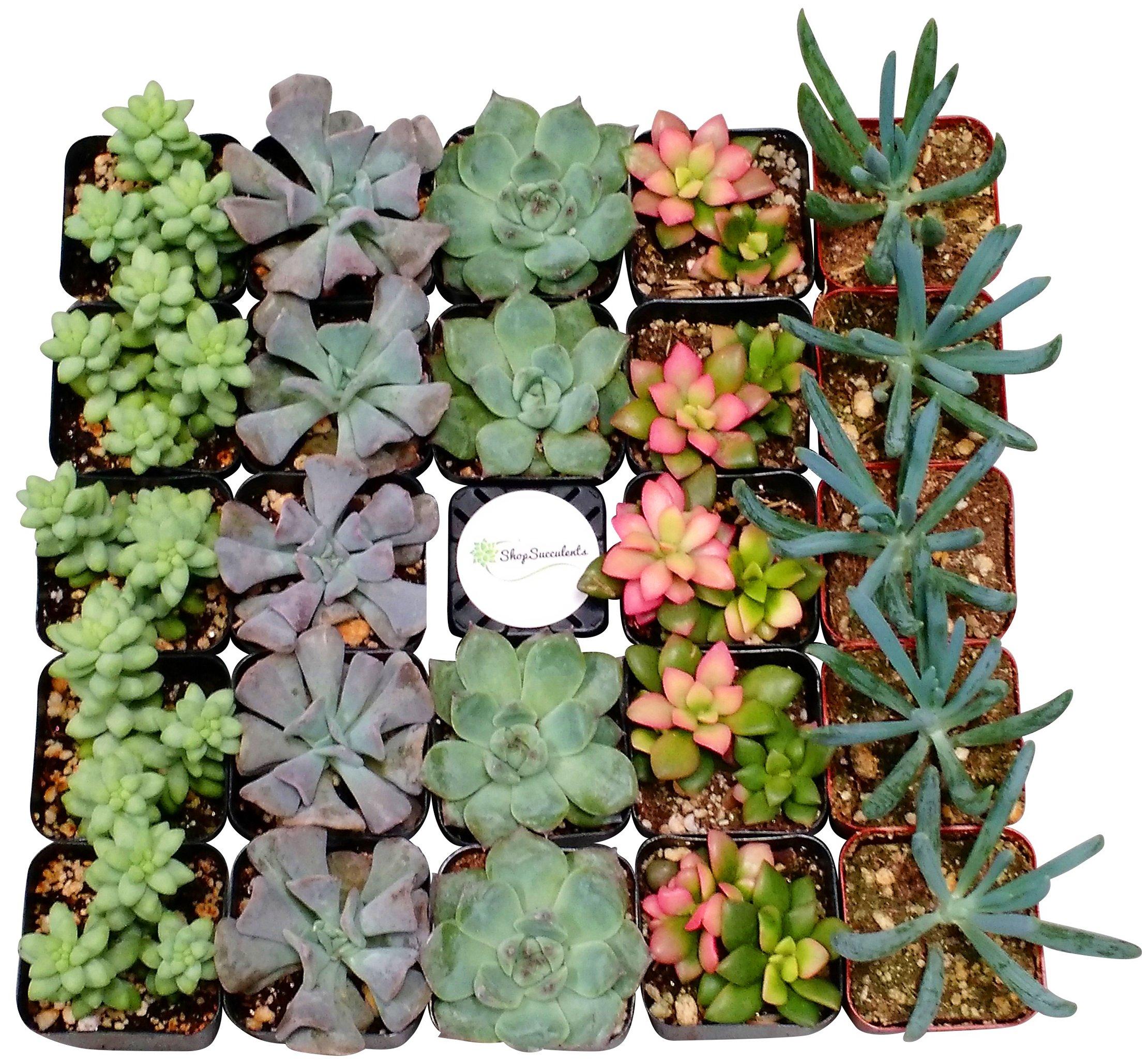 Shop Succulents Premium Pastel Succulent (Collection of 40)