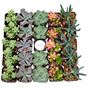 Shop Succulents Premium Pastel Succulent (Collection of 40)
