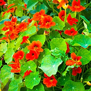 Nasturtium Seeds - Empress of India - 1 Lb - Non-GMO Edible Flower Garden & Microgreens Seeds - Tropaeolum nanum - Grow Micro Greens