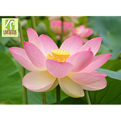 Liveseeds - Lotus Flower (5) Seeds - Nelumbo Nucifera - Sacred Water Lily - Flower Seeds : Garden & Outdoor