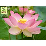 Amazon liveseeds bowl lotuswater lily flower bonsai lotus liveseeds lotus flower 5 seeds nelumbo nucifera sacred water lily mightylinksfo