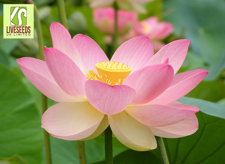 Liveseeds Lotus Flower 5 Seeds Nelumbo Nucifera Sacred Water Lily Flower Seeds