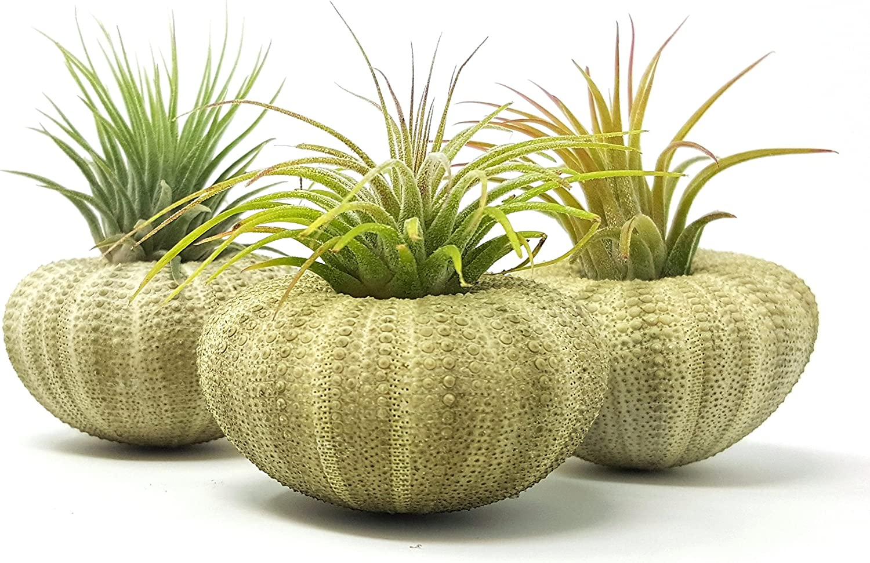 aura creations 3 pcs Green Sea Urchin Air Plant Lot Kit Includes 3 Tillandsia Plants and 3 Urchin Shells