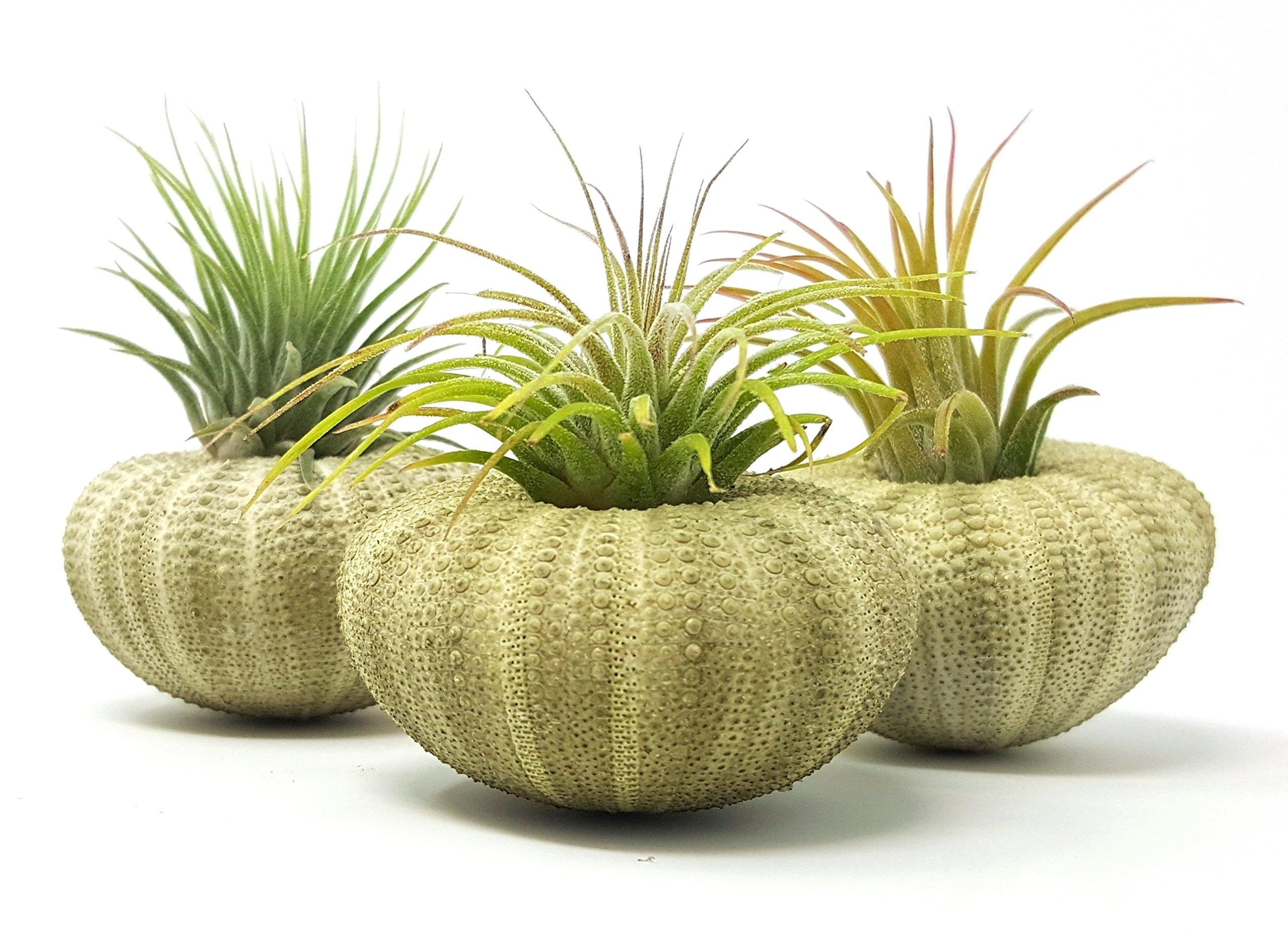 Aura Creations 3 pcs Green Sea Urchin Air Plant Lot/Kit Includes 3 Tillandsia Plants and 3 Urchin shells