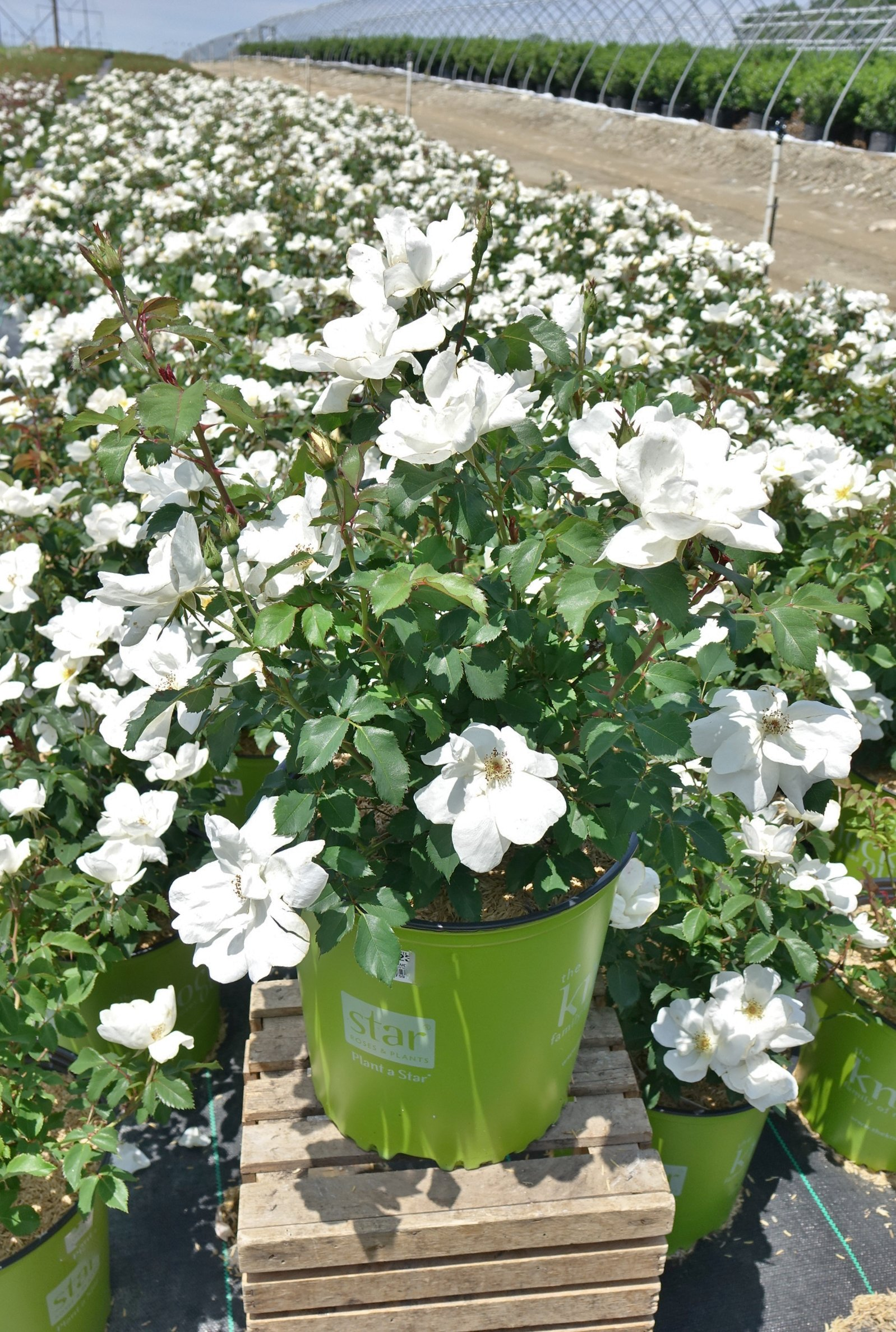 Knock Out Roses - Rosa White Knock Out (Rose) Rose, white flowers, #3 - Size Container by Green Promise Farms (Image #3)