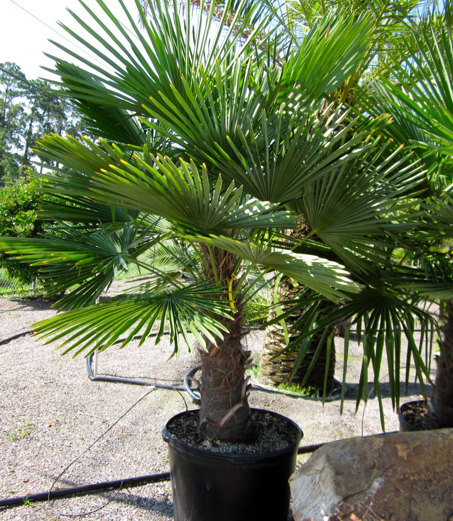 (3 gallon) Windmill Palm Trees- An extremely hardy palm tree with an attractive, compact crown with large, stiff, fan-like, green foliage and distinctive hairy black fibers covering its slender, grace
