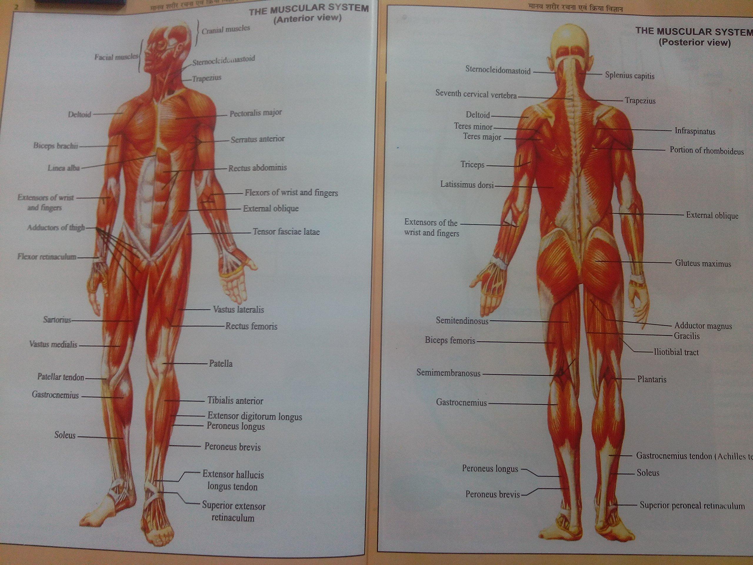 Human Anatomy And Physiology (Hindi): Dr.ANANT PRAKASH GUPTA ...