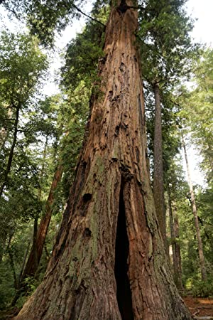 Sequoia sempervirens, 150 Sementes, secuoya roja, secuoya de California: Amazon.es: Jardín