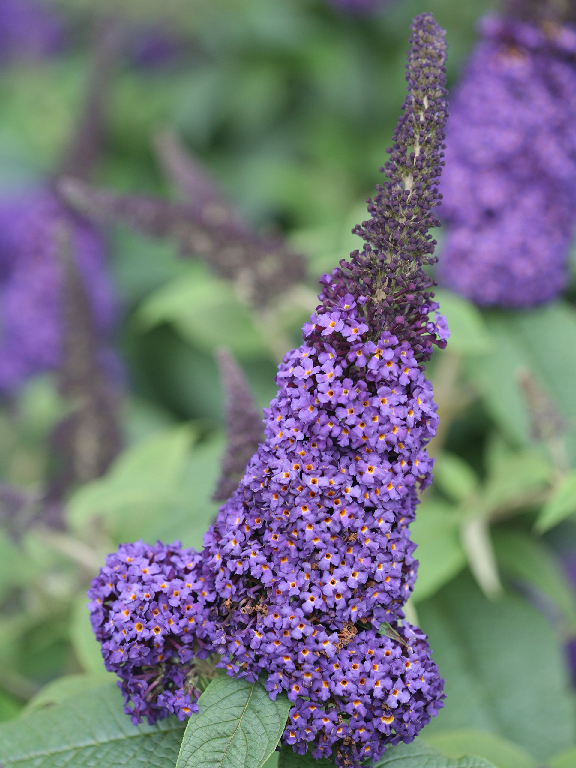 Pugster Blue Butterfly Bush (Buddleia) Live Shrub, Blue Flowers, 1 Gallon by Proven Winners (Image #2)