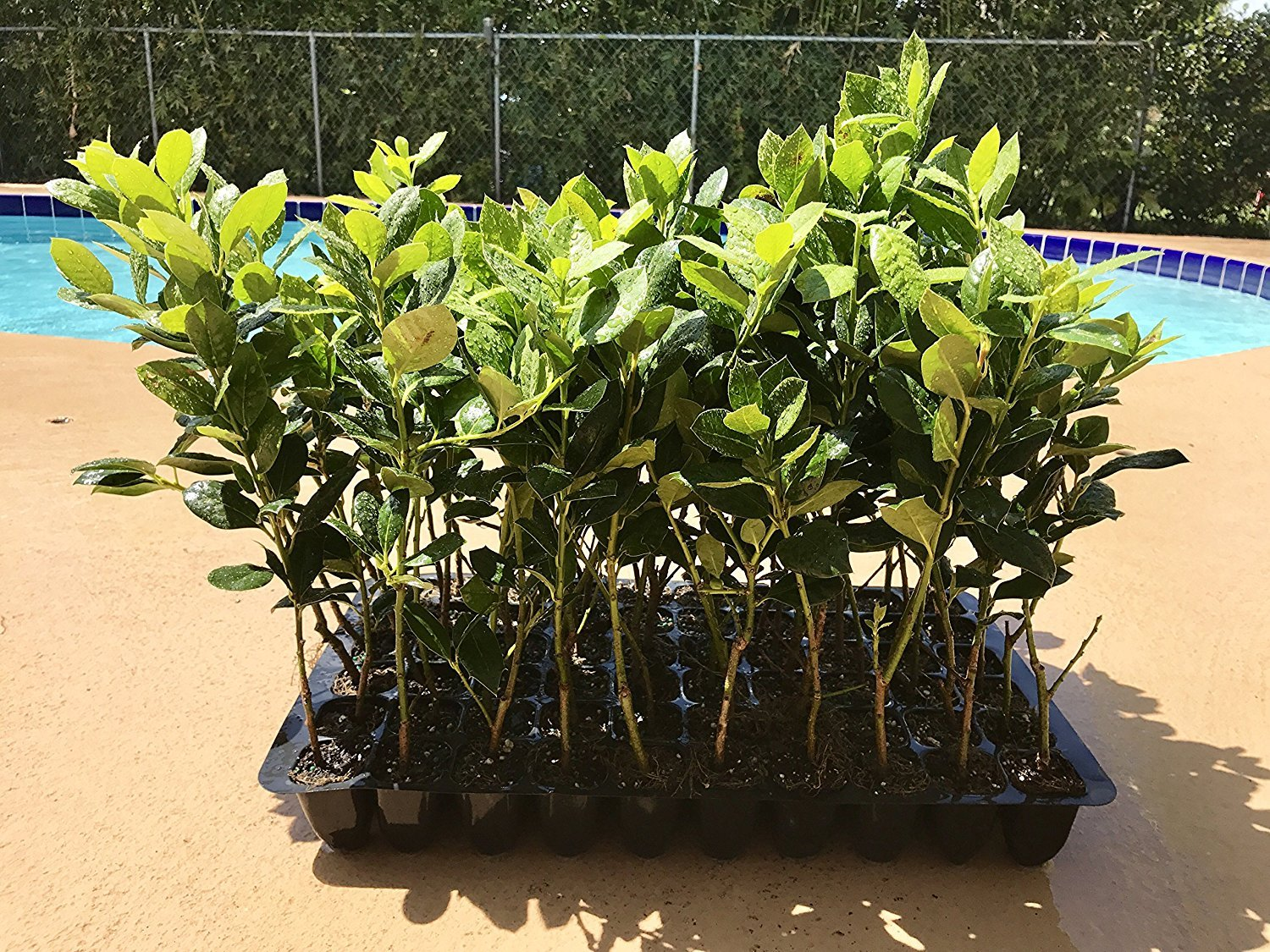 Nellie R. Stevens Holly - 20 Live Plants - Evergreen Privacy Trees by Florida Foliage (Image #1)