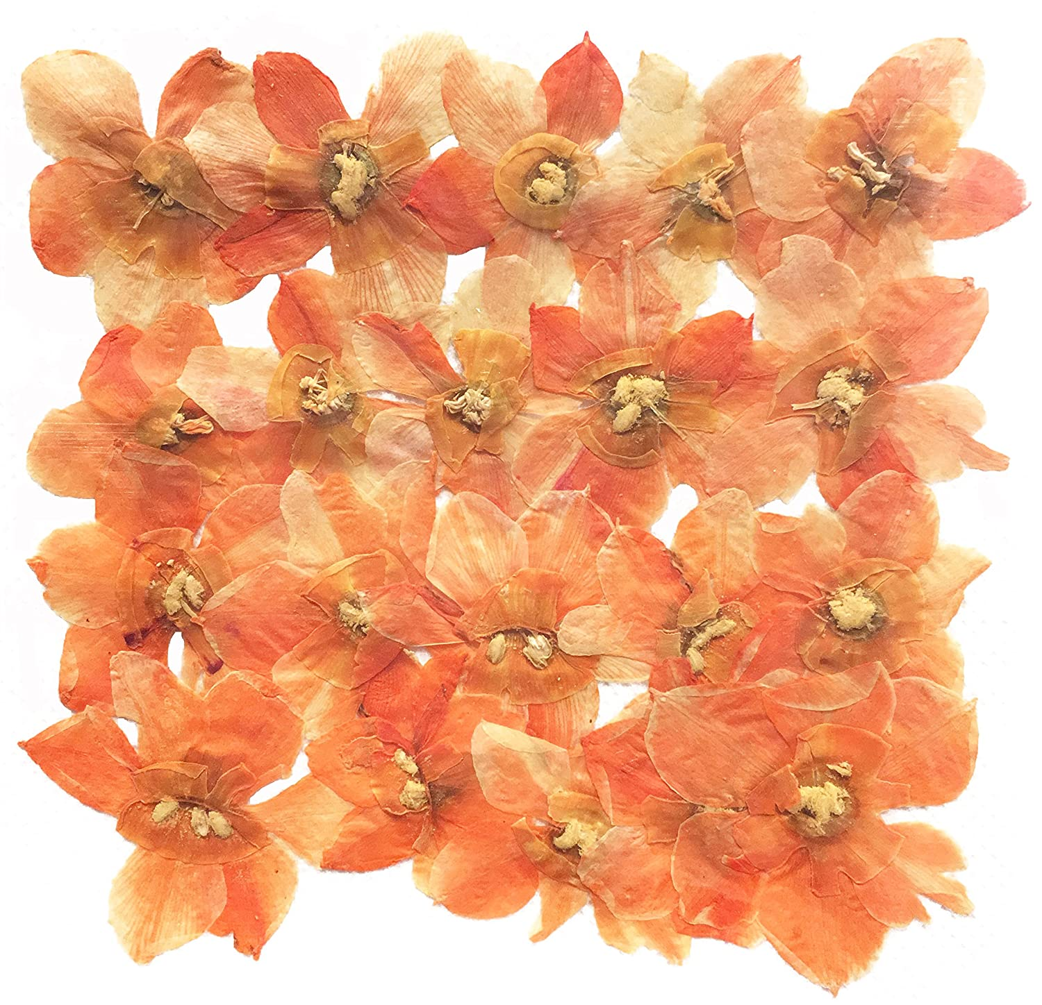 craft card making scrapbooking Pressed flowers light orange daffodil 20pcs for floral art