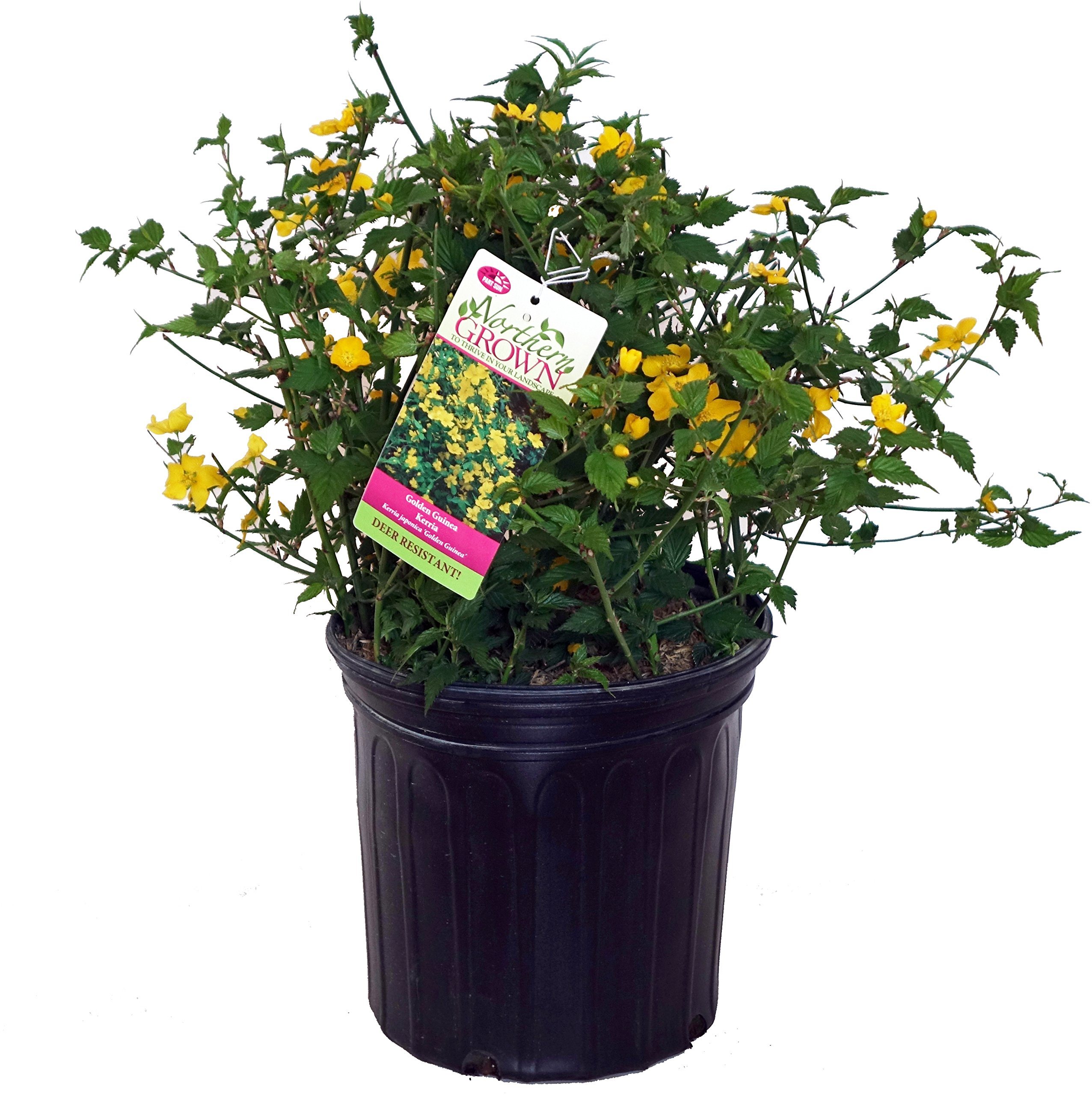 Kerria japonica 'Golden Guinea' (Japanese Kerria) Shrub, yellow flowers, #2 - Size Container