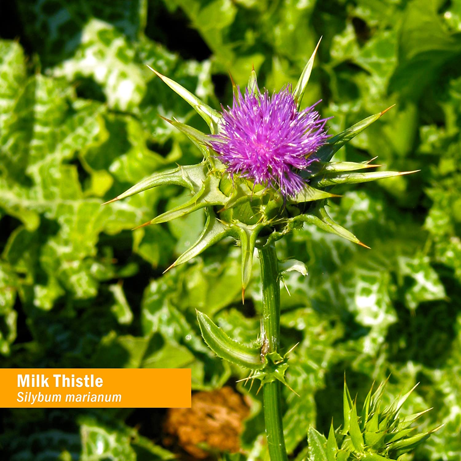 Thistle: useful properties and contraindications. Therapeutic properties of a thistle