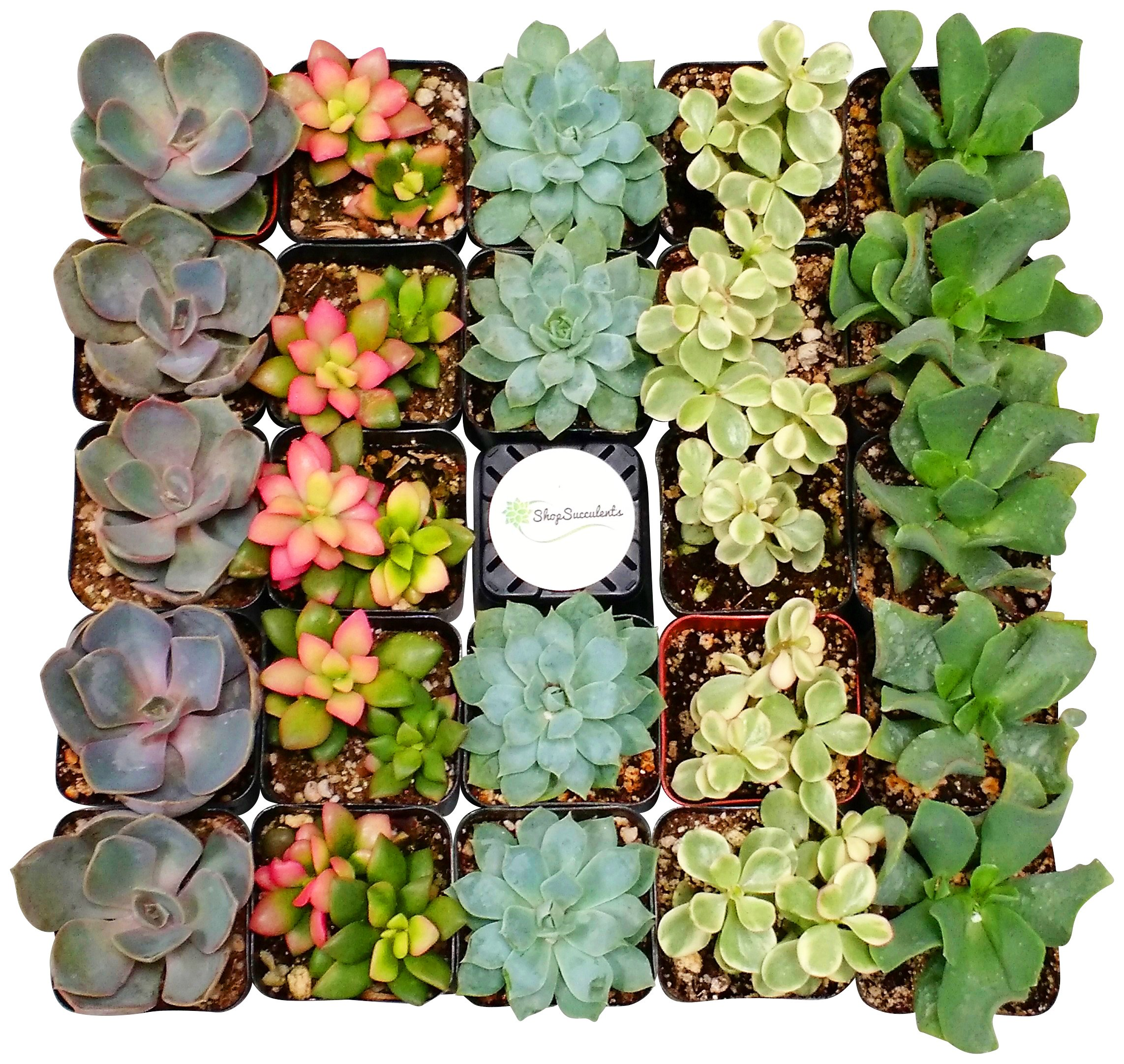 Shop Succulents Premium Pastel Succulent (Collection of 100) by Shop Succulents