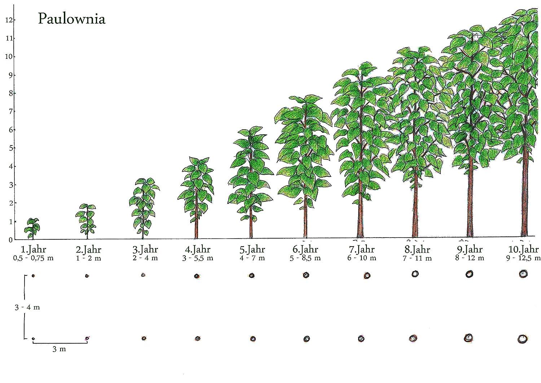 8-10 cm-Topf 5 Paulownia Blauglockenbaum SHANDONG zur/ückgeschnitten extrem schnellw/üchsig auch Kiri-Baum Kaiserbaum f/ür Wert-holz//Energieholz