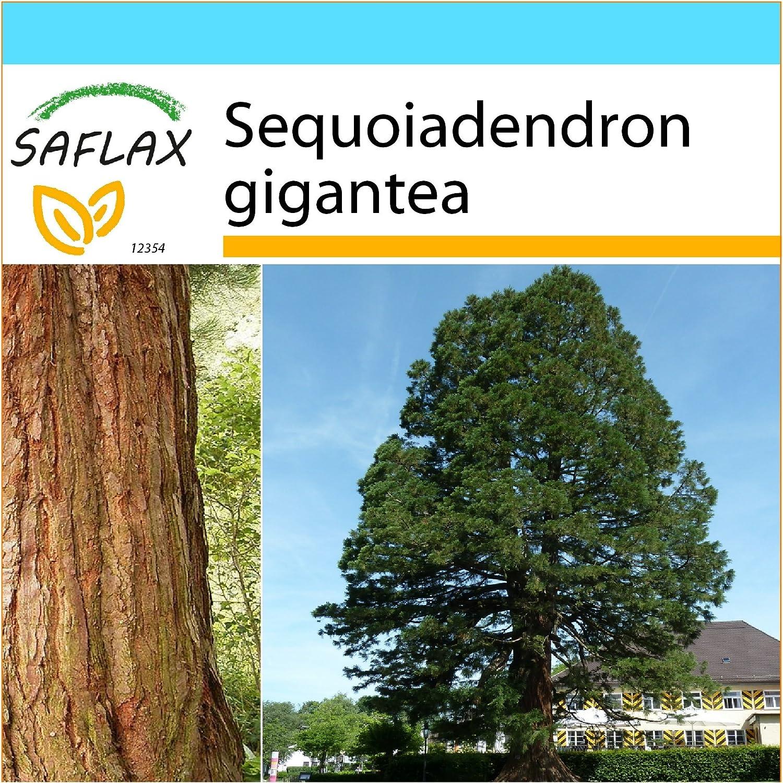 SAFLAX - Set regalo - Árbol mamut - 50 semillas - Con caja regalo/envío, etiqueta para envío, tarjeta de felicitación y sustrato de cultivo y fertilizante - Sequoiadendron gigantea