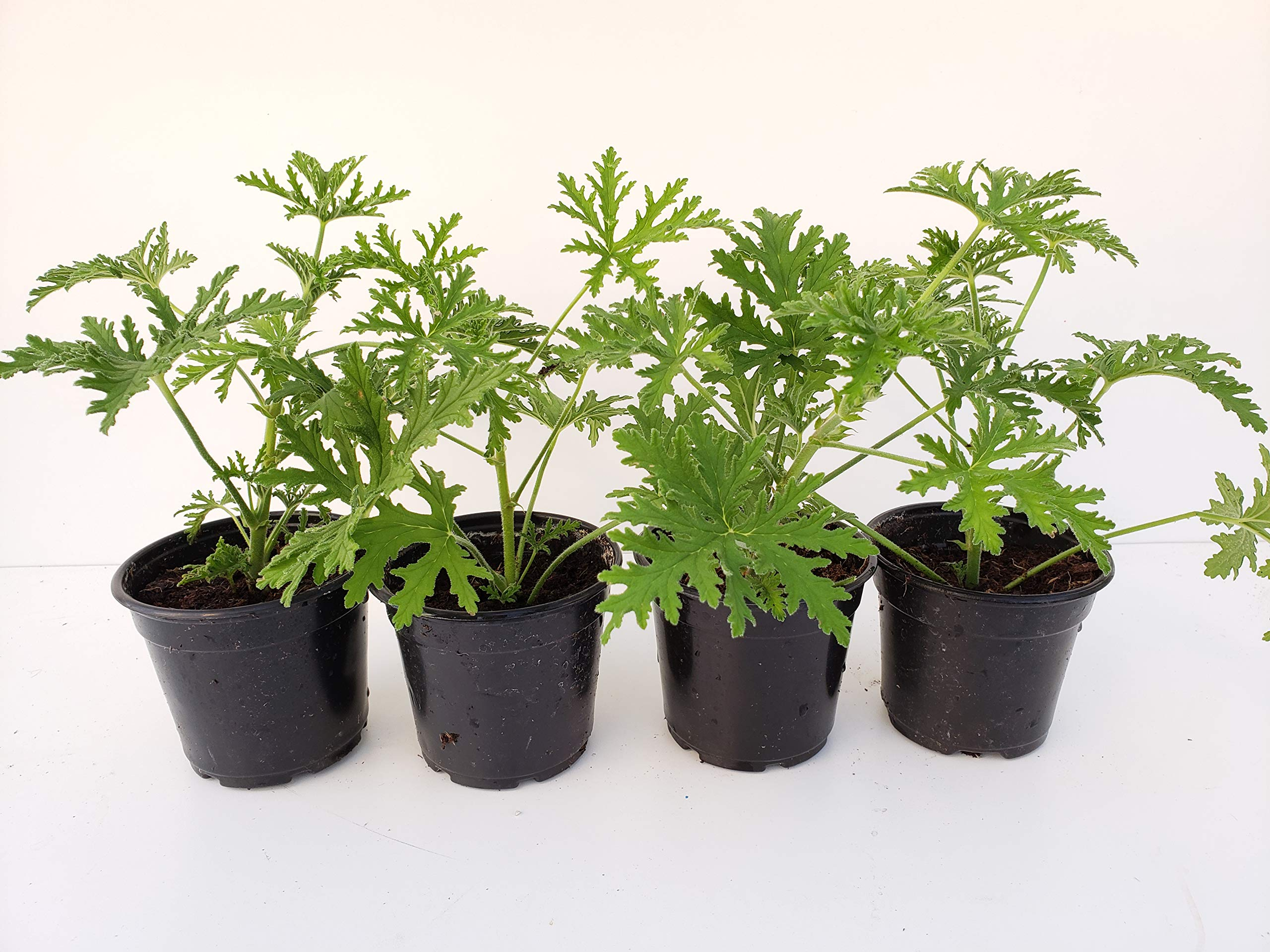 Live Citronella Starter Plants - 4 Pack of Citrosa Mosquito Plants - Scented Geranium