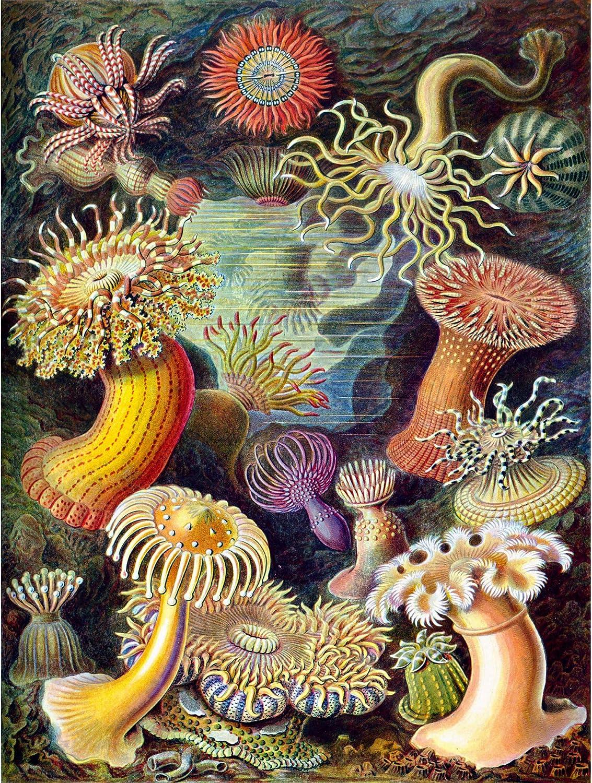 Nature Biology Turtle Ernst Haeckel Germany Vintage Advert 12X16 Framed Print