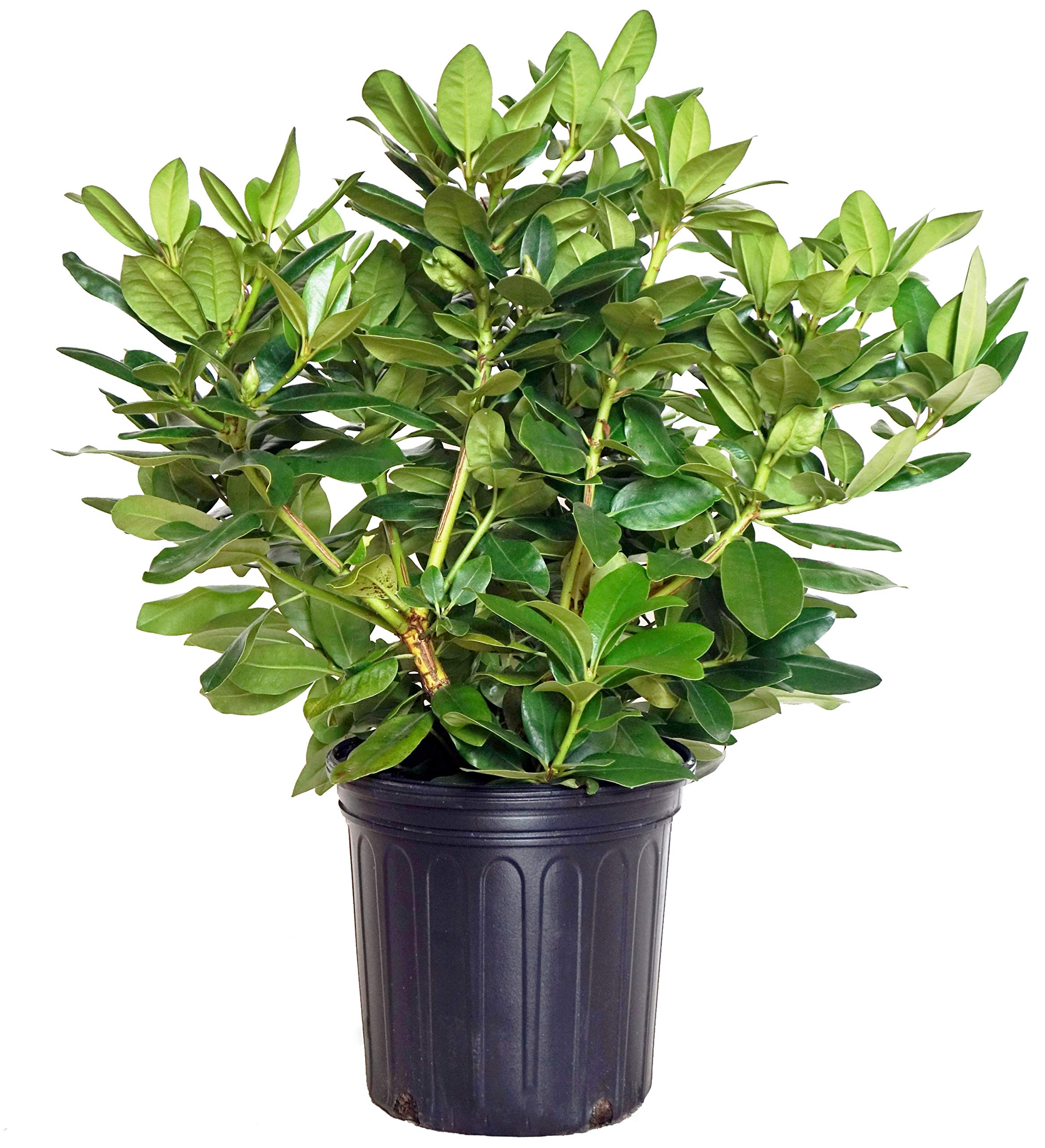 Green Promise Farms Rhododendron 'Minnetonka' (Rhododendron) Evergreen, Pale Lavender Flowers, 2 - Size Container