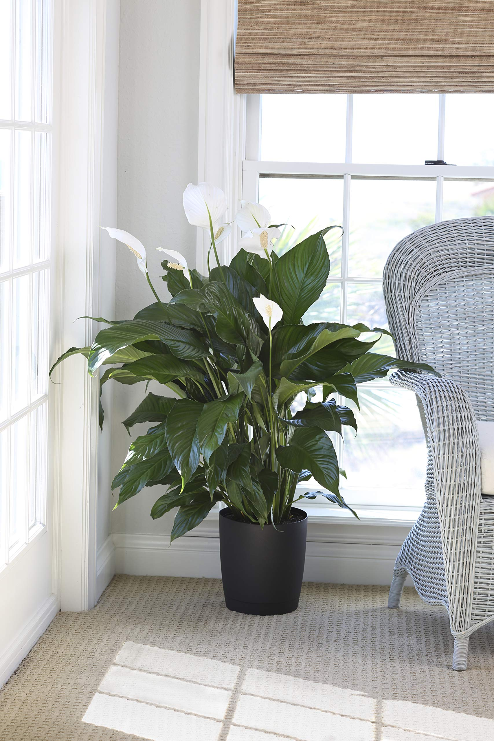 Costa Farms Peace lily, Spathiphyllum, Live Indoor Plant, 3-Feet Tall, Ships in Décor Planter, Fresh From Our Farm, Excellent Gift or Home Décor by Costa Farms (Image #3)