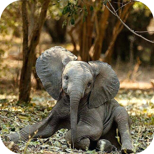 Elephant Wallpaper Amazones Appstore Para Android
