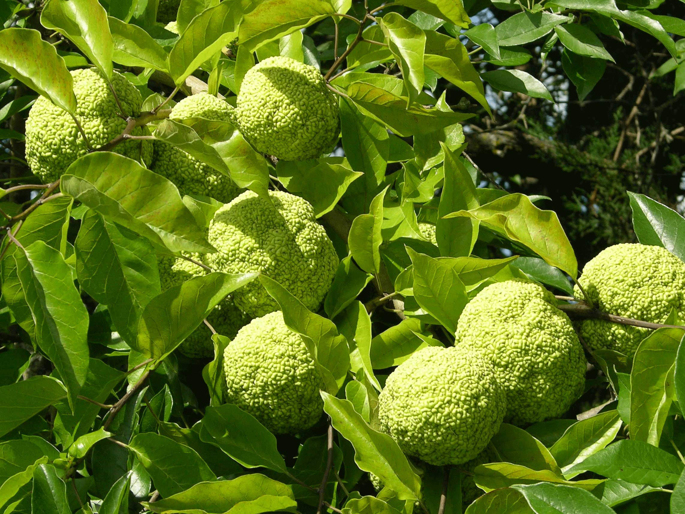 Osage Oranges Hedge Apples - 7 or More in Box. This is The Real Fruit from Iowa Trees by Moses WholeSale