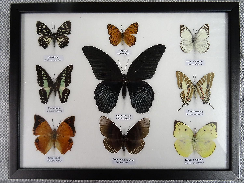 9 gerahmt Schmetterlinge – Echter Exemplare: Amazon.de: Küche & Haushalt