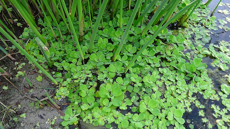 Mühlan Wasserpflanzen Grande laitue d'eau Pour étang et bassin de jardin Aquarium Fan