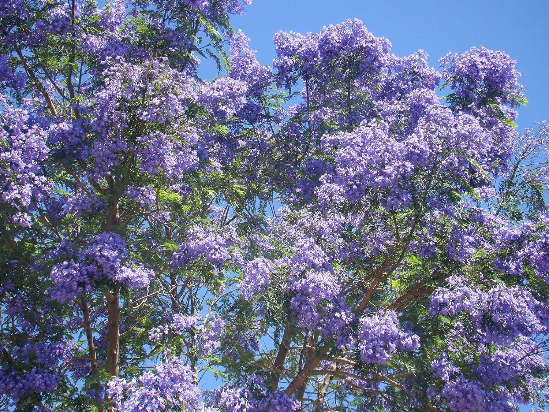 Blue Jacaranda Tree Jacaranda Mimosaefolia Plant Starter Plant Fern Like Foliage Blue Flowers Amazon Co Uk Garden Outdoors