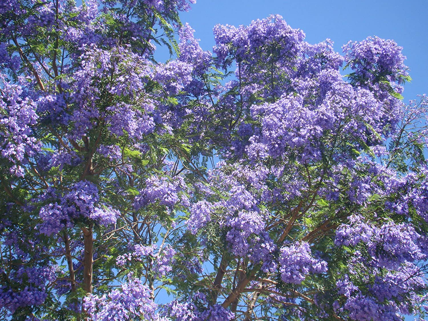 Blue jacaranda tree jacaranda mimosaefolia plant seedling fern like blue jacaranda tree jacaranda mimosaefolia plant seedling fern like foliage blue flowers amazon garden outdoors izmirmasajfo